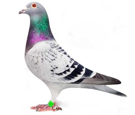 پرورش کبوتر پلاکی