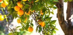 برنامه مصرف کود ارگانیک در درختان میوه و بوته خیار و گوجه