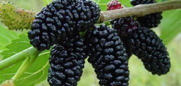 انواع میوه های محلی و وحشی در روستای سیور