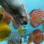 علت غذا نخوردن ماهی دیسکس